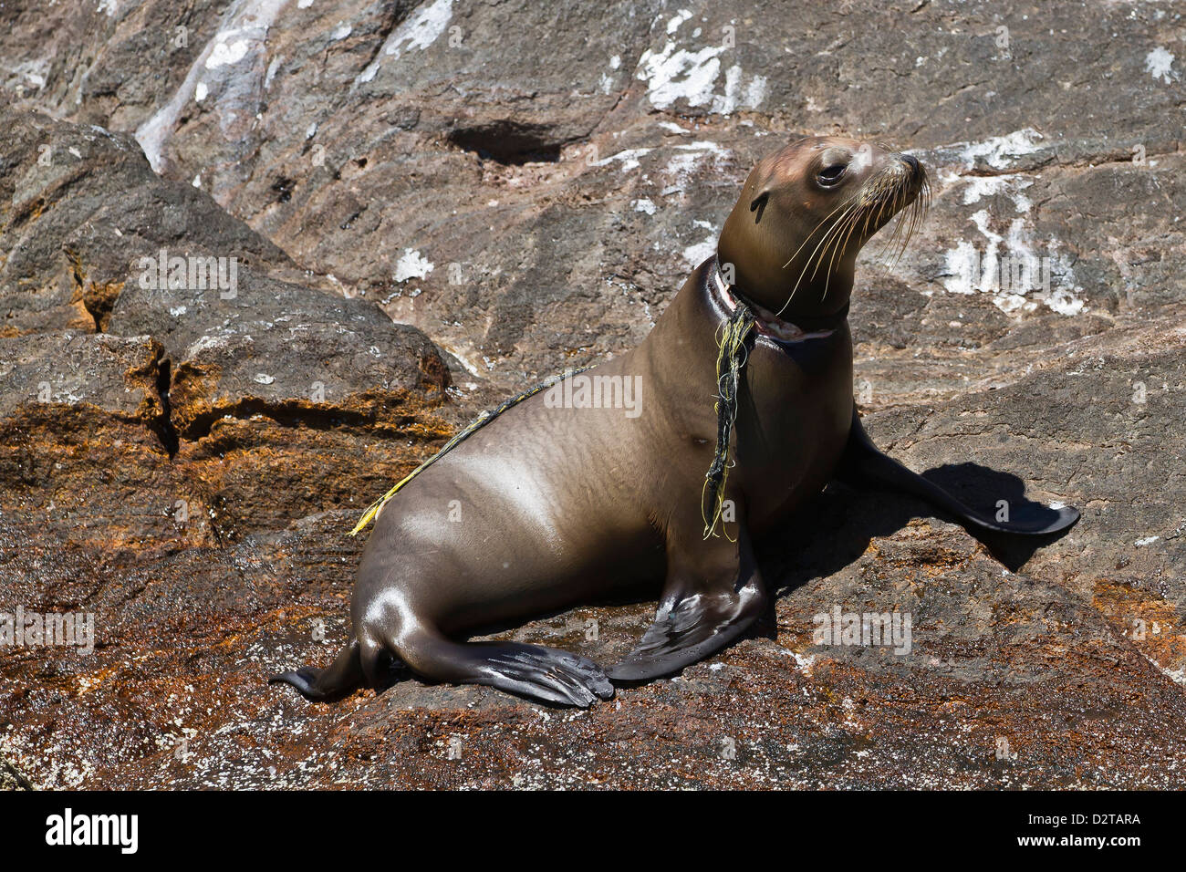 California sea lion pup entangled in net, Los Islotes, Baja California Sur, Gulf of California (Sea of Cortez), - Stock Image
