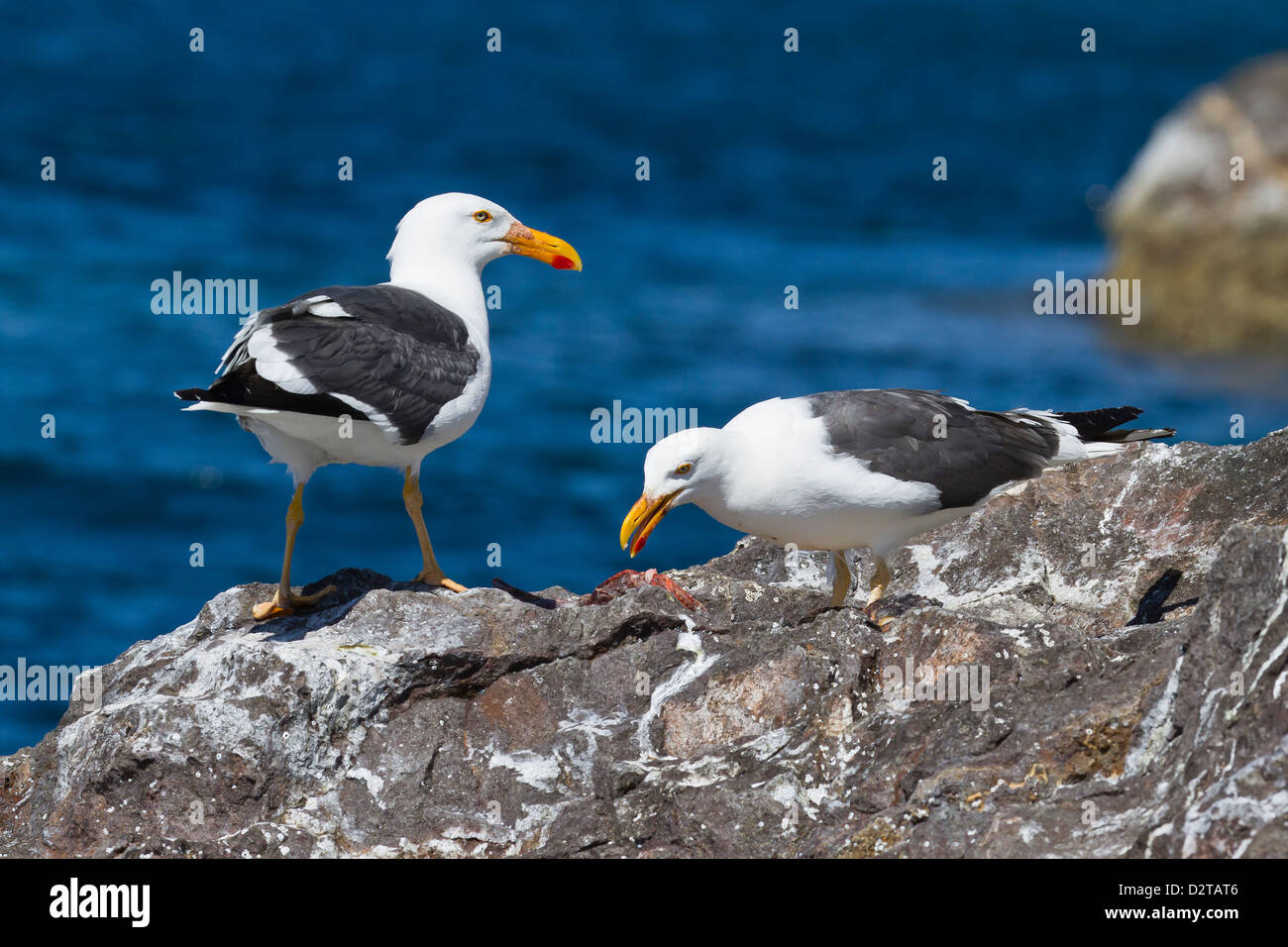 Yellow-footed gulls (Larus livens), Gulf of California (Sea of Cortez), Baja California Sur, Mexico, North America - Stock Image