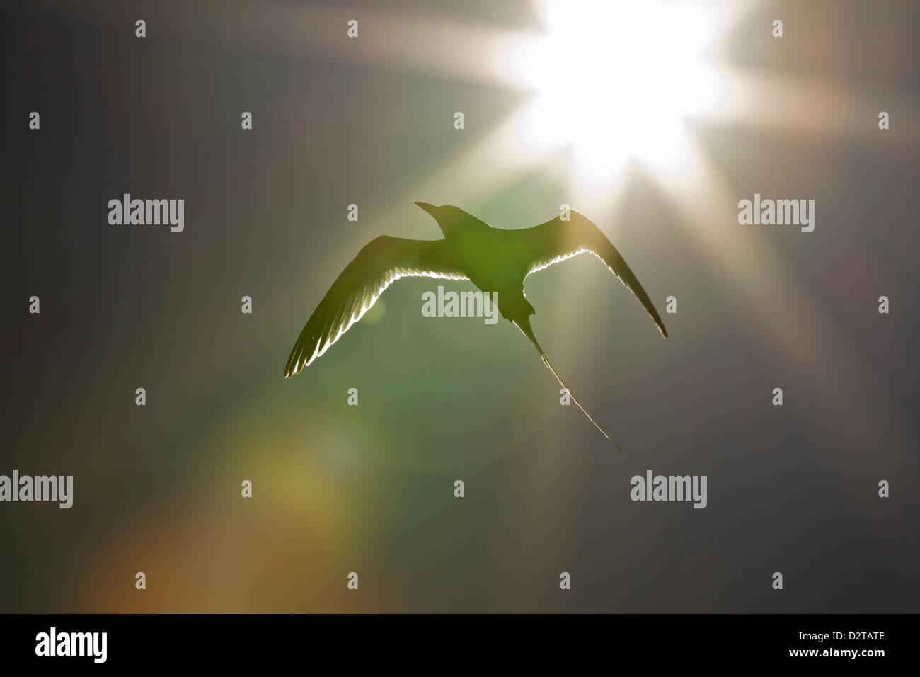 Adult red-billed tropicbird, Isla San Pedro Martir, Gulf of California (Sea of Cortez), Baja California, Mexico - Stock Image