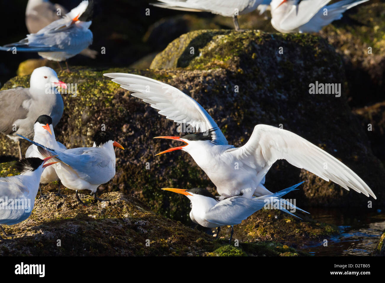 Elegant terns (Thalasseus elegans) mating, Isla Rasa, Gulf of California (Sea of Cortez), Baja California, Mexico, Stock Photo