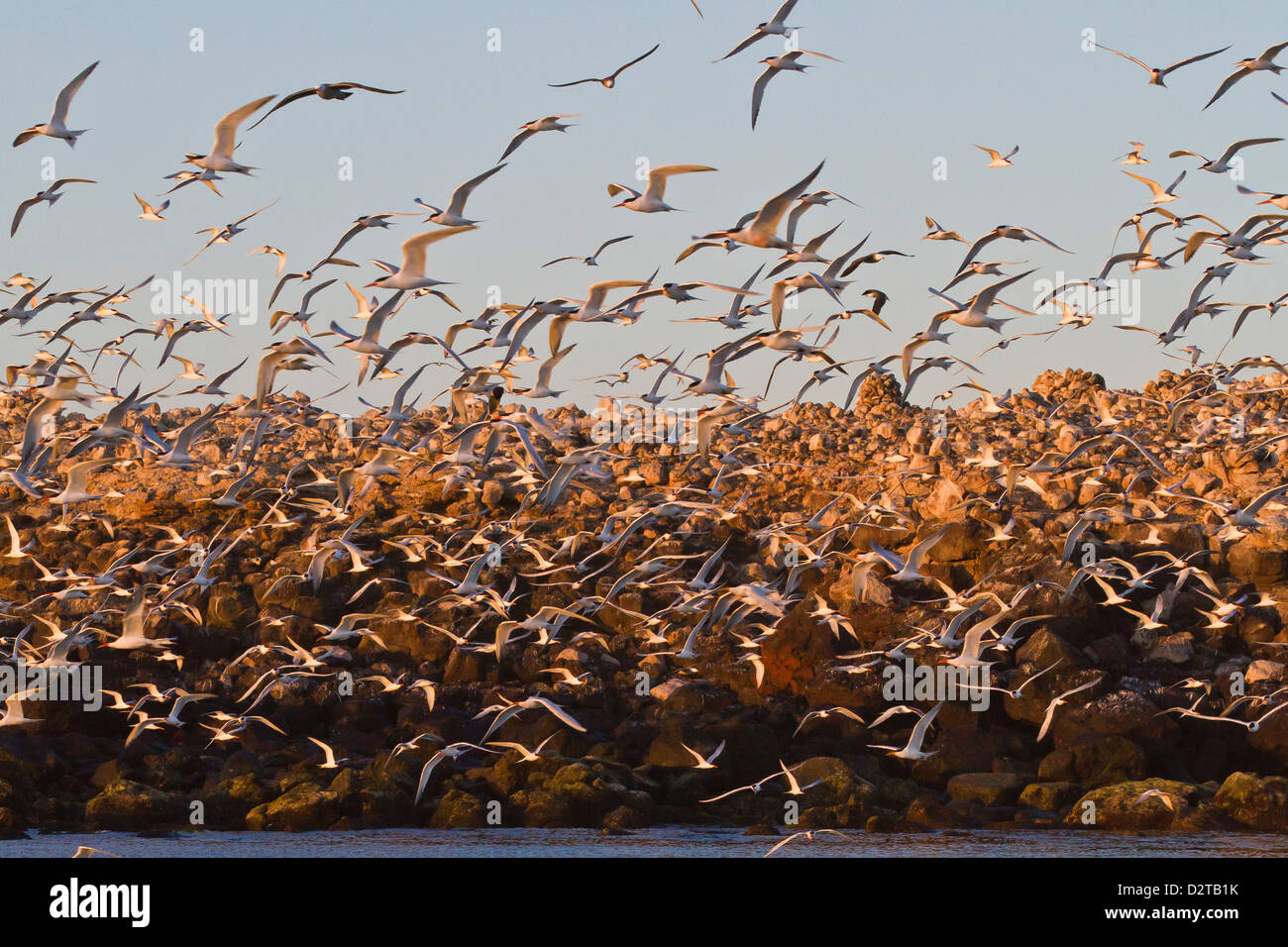 Elegant tern (Thalasseus elegans) breeding colony, Isla Rasa, Gulf of California (Sea of Cortez), Baja California, - Stock Image
