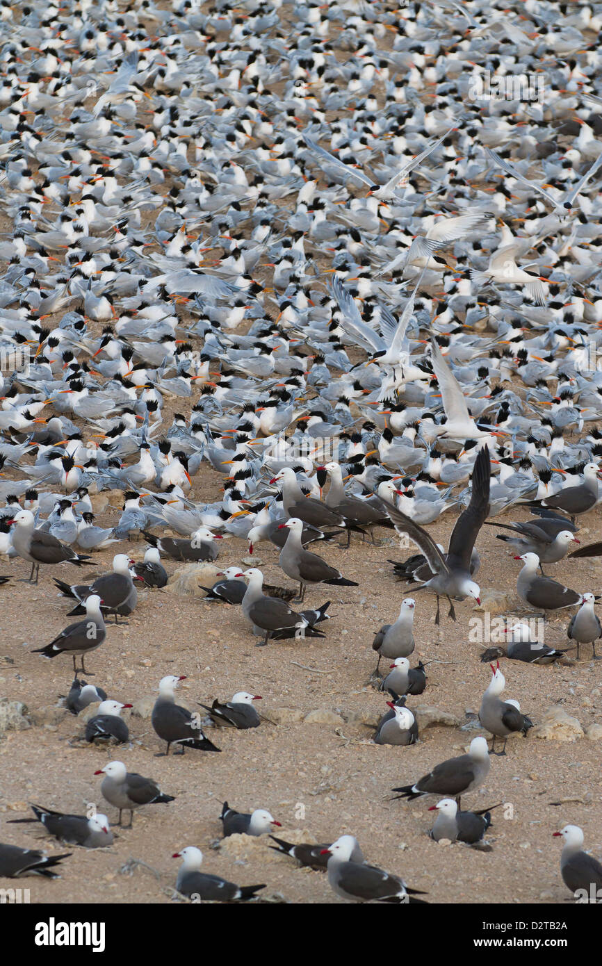 Elegant tern and Heermann's gull breeding colony, Isla Rasa, Gulf of California (Sea of Cortez), Baja California, - Stock Image