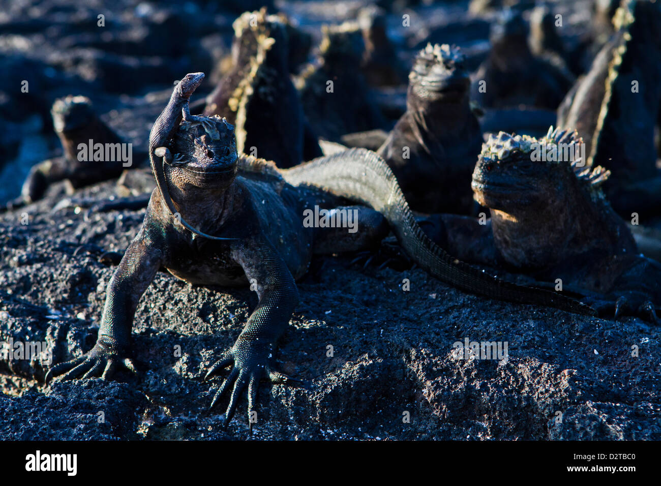 Galapagos marine iguanas (Amblyrhynchus cristatus), Fernandina Island, Galapagos Islands, Ecuador - Stock Image
