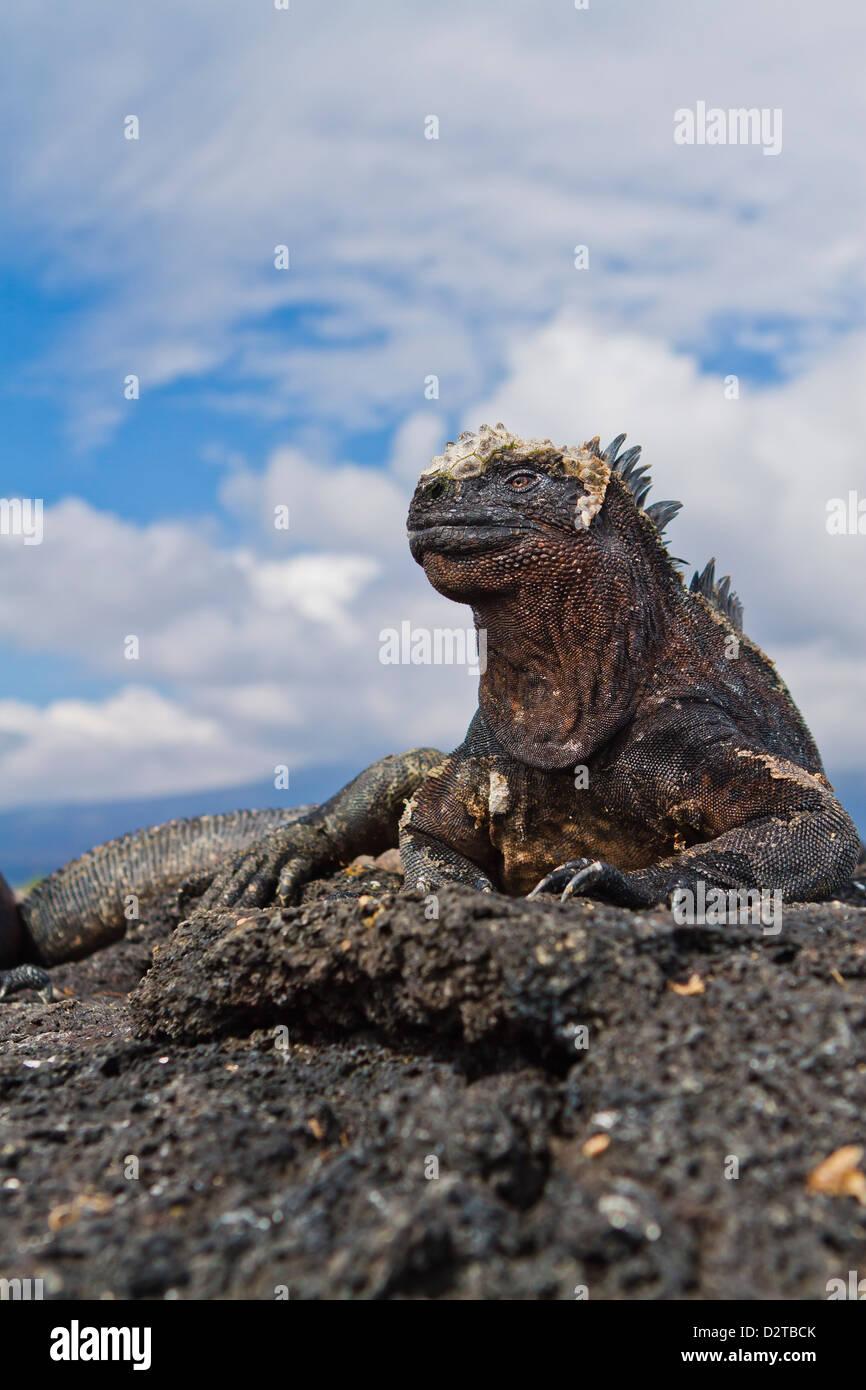 Galapagos marine iguana (Amblyrhynchus cristatus), Fernandina Island, Galapagos Islands, Ecuador - Stock Image