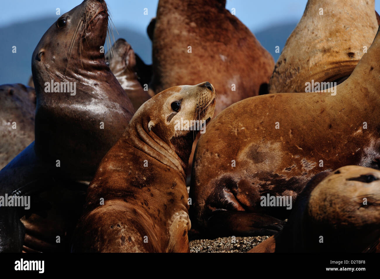 Sea lions in the Great Bear Rainforest, British Columbia, Canada, North America - Stock Image