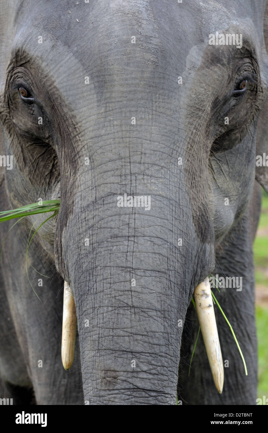 Asian elephant, Kaziranga, Assam, India, Asia - Stock Image