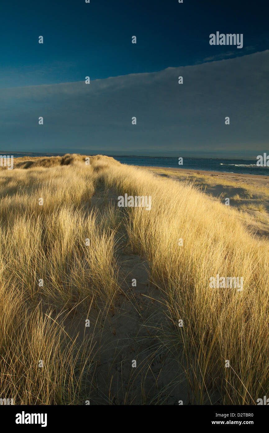 Sand Dunes at Abertay Sands, Tentsmuir Nature Reserve, Fife - Stock Image