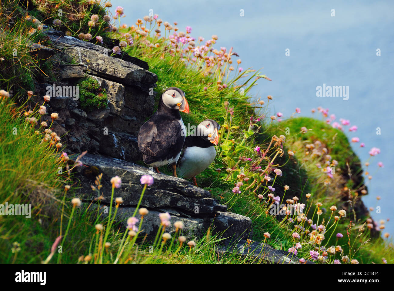 Two puffins, Westray, Orkney Islands, Scotland, United Kingdom, Europe - Stock Image