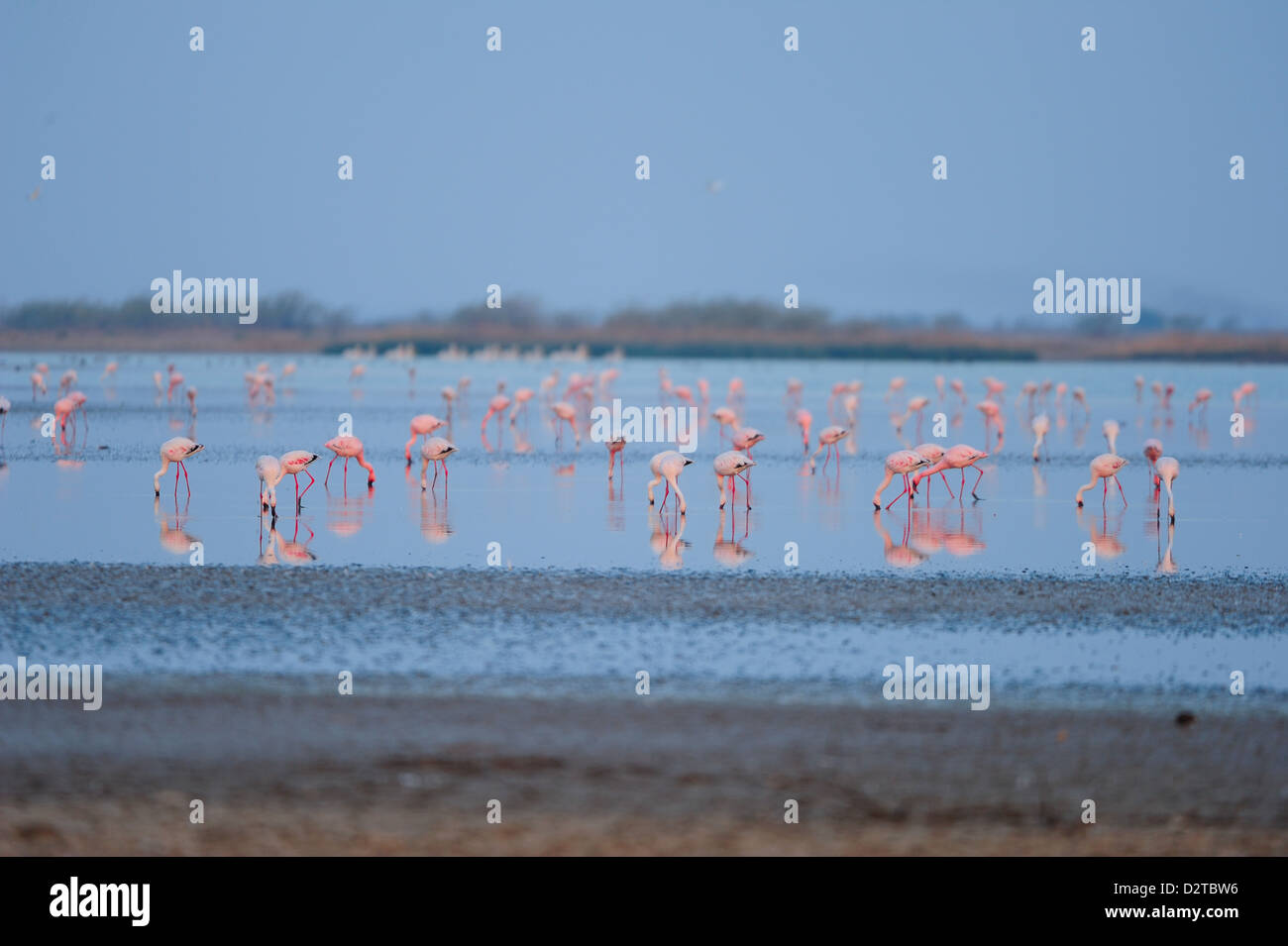 Flamingos feed on the brackish water in Little Rann of Kutch, Gujarat, India, Asia - Stock Image