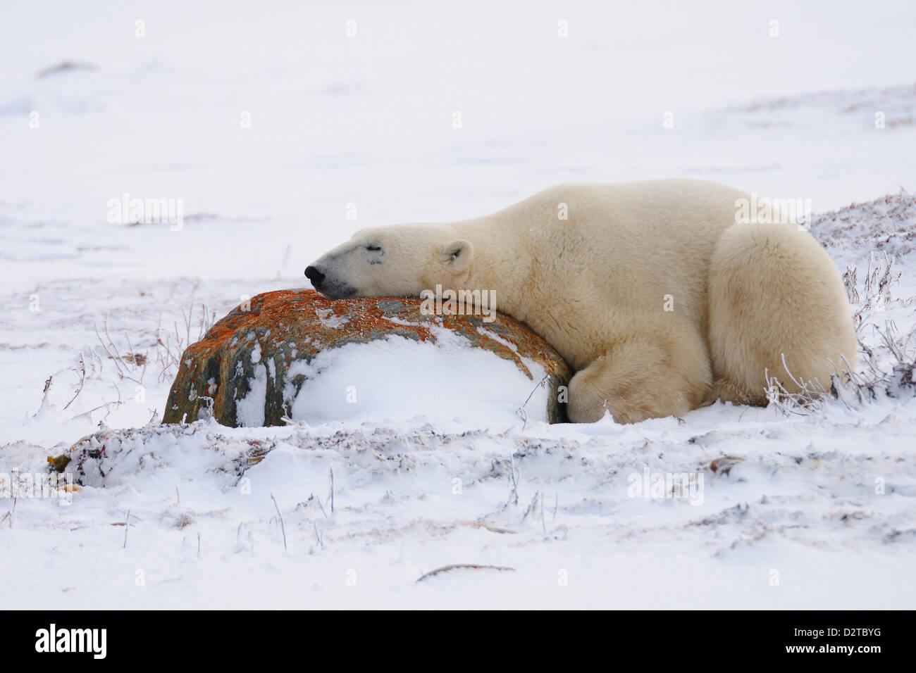 Polar bear resting, Churchill, Hudson Bay, Manitoba, Canada, North America - Stock Image