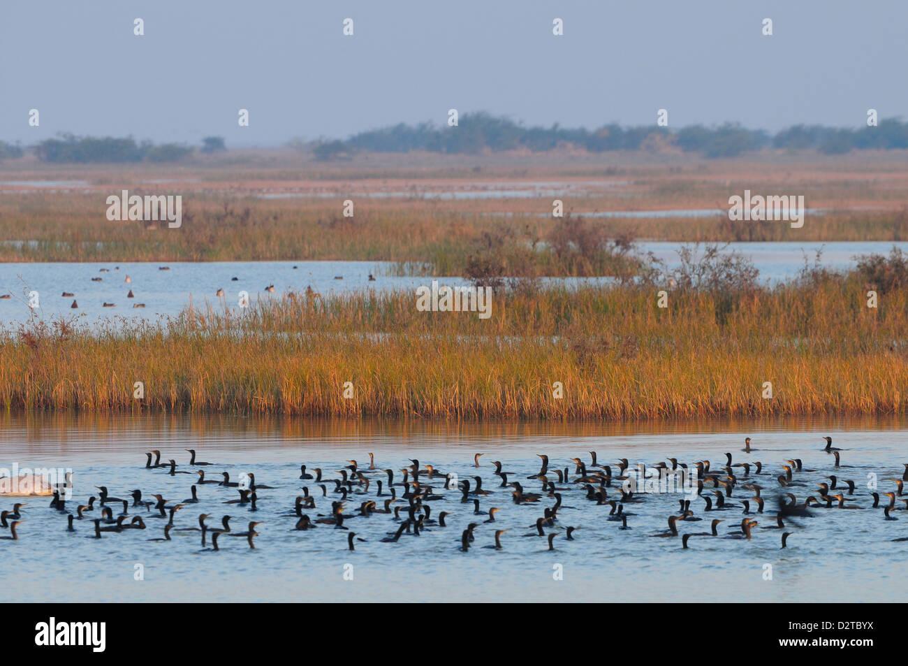 Cormorants on the lake in rural India, Gujarat, India, Asia - Stock Image