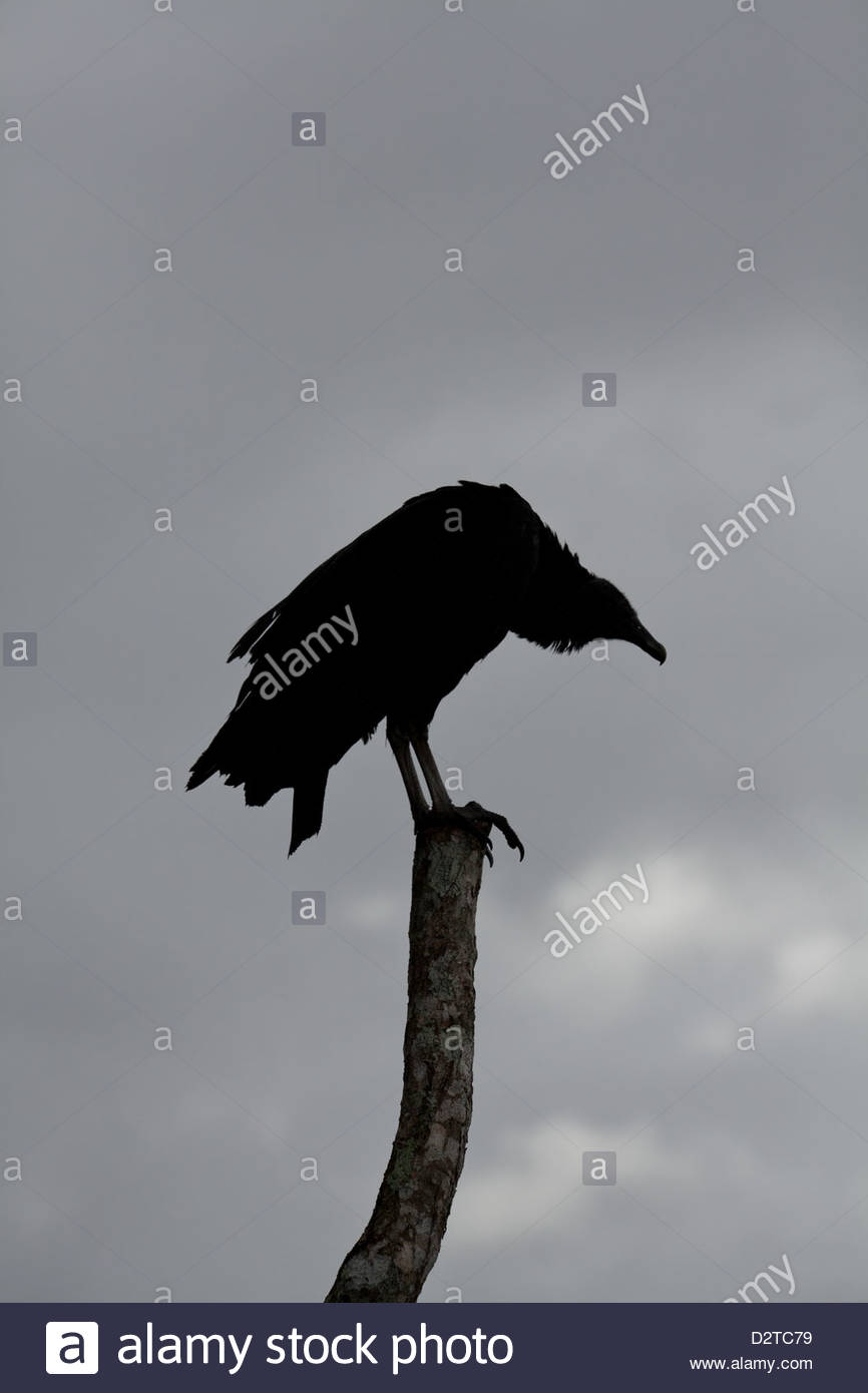 Black Vulture, Coragyps atratus, sitting on a post near Volcan in Chiriqui province, Republic of Panama. - Stock Image