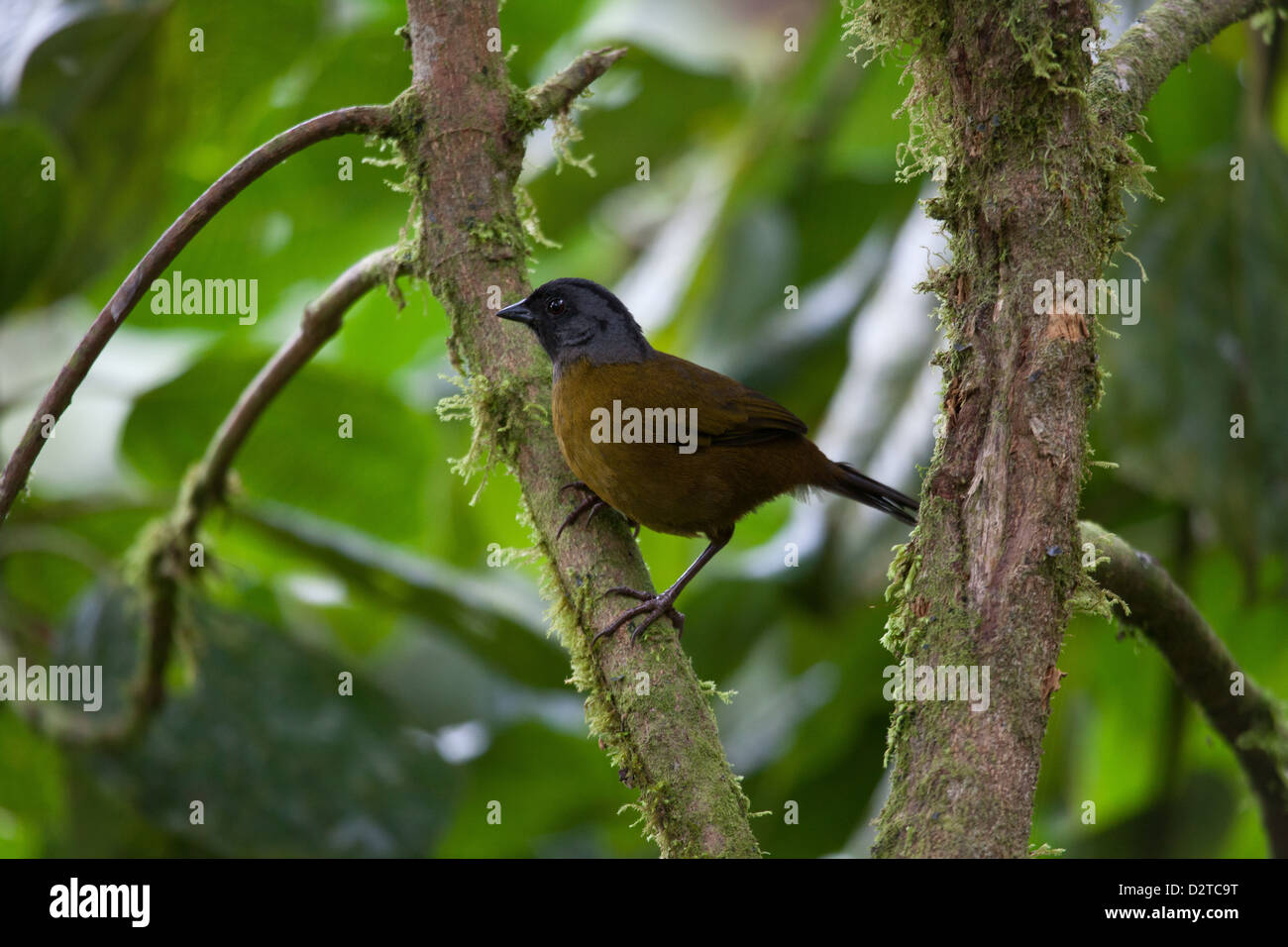 Large-footed Finch, Pezopetes capitalis, in La Amistad national park, Chiriqui province, Republic of Panama. Stock Photo