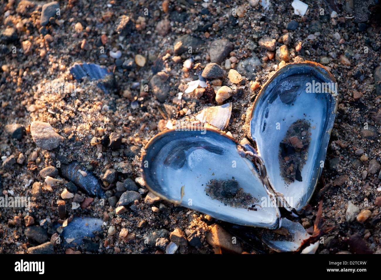 Blue mussel, Mytilus edulis, by the Oslofjord at Larkollen in Rygge kommune, Østfold fylke, Norway. - Stock Image