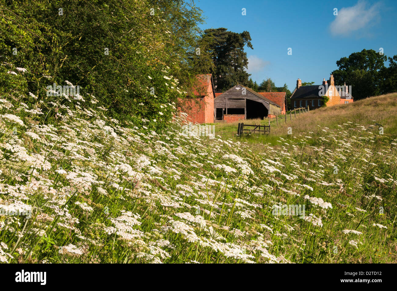 A swathe of wild plants growing within a hayfield with brick farm buildings beyond at Harlestone, Northamptonshire, - Stock Image