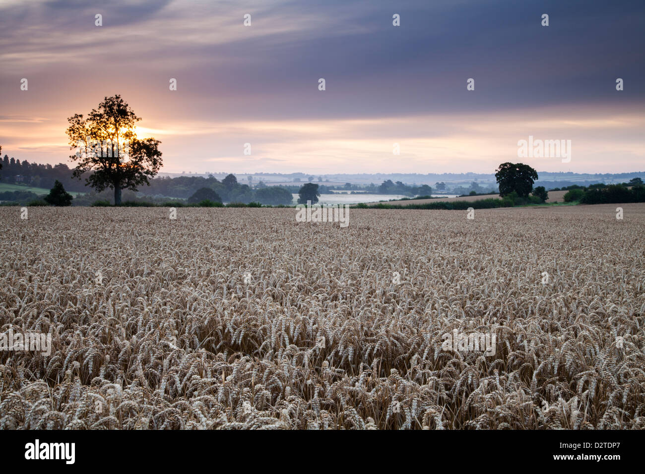 Beside a field of ripened Wheat at dawn with mist rising in the shallow valley beyond near Holdenby in Northamptonshire, - Stock Image