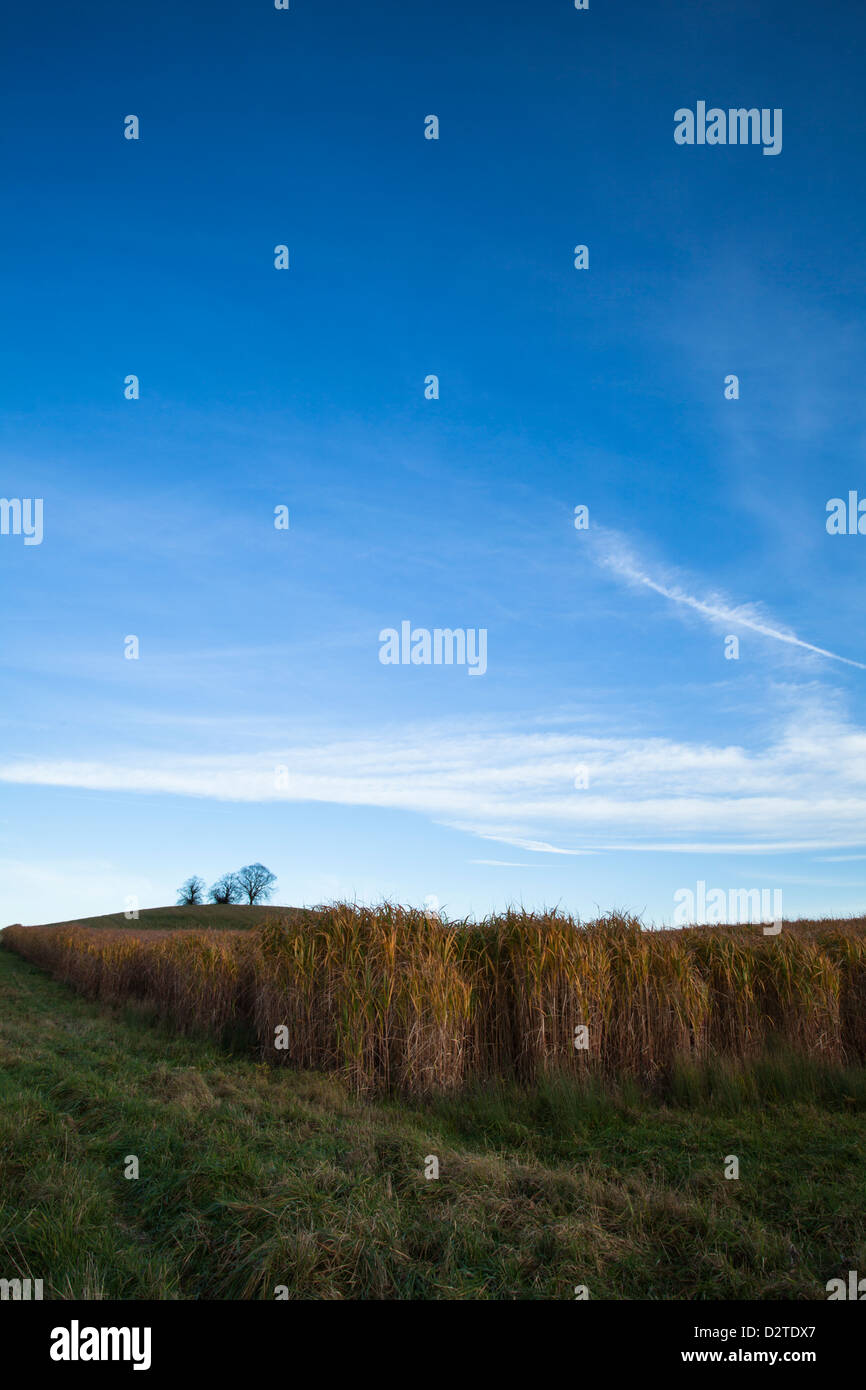 A large field of  Elephant Grass (Miscanthus) under a blue sky in mid- November near Holdenby in Northamptonshire, - Stock Image