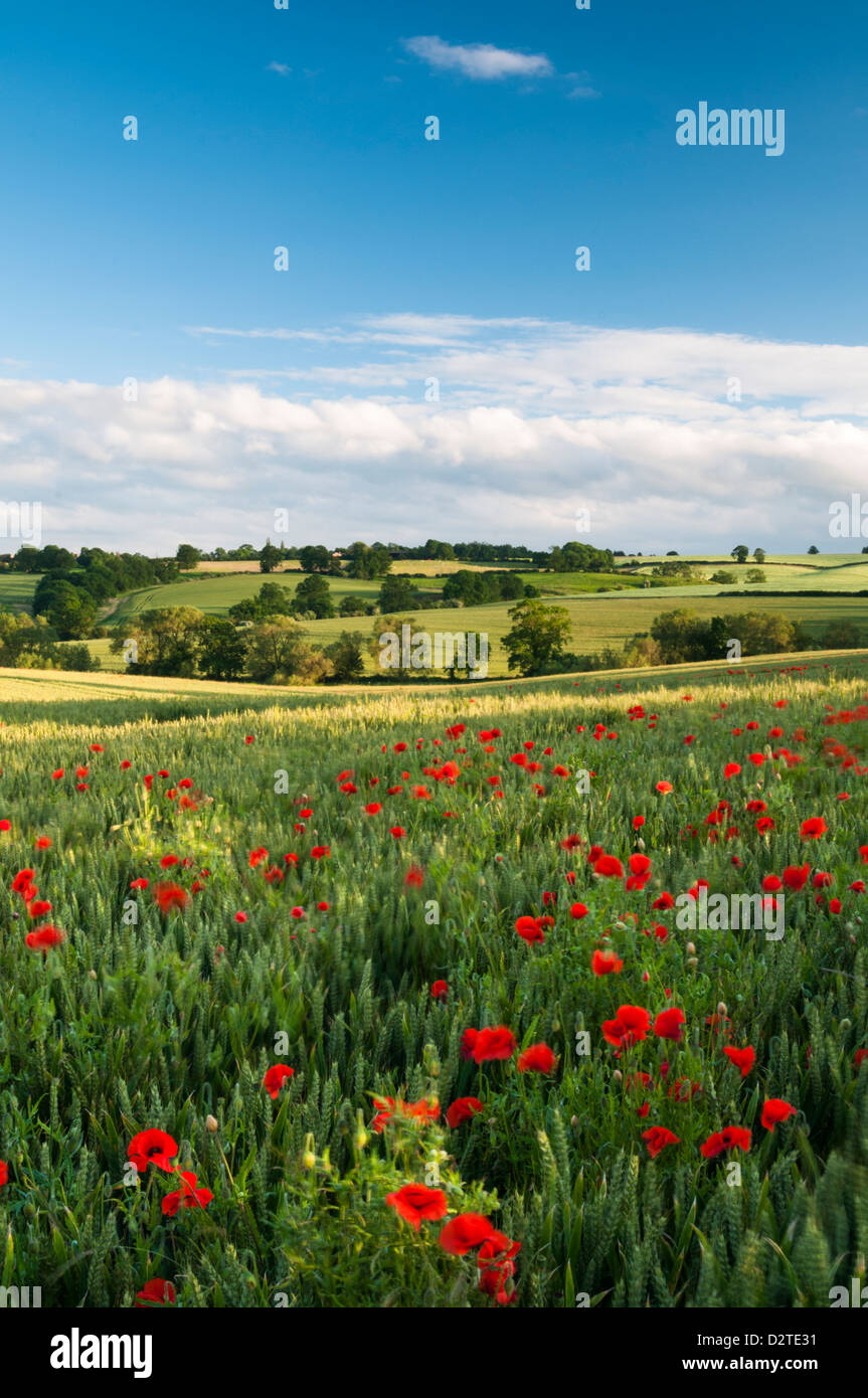 Vibrant red Poppies growing among a crop of ripening Wheat and rolling Northamptonshire countryside, bathed in evening - Stock Image