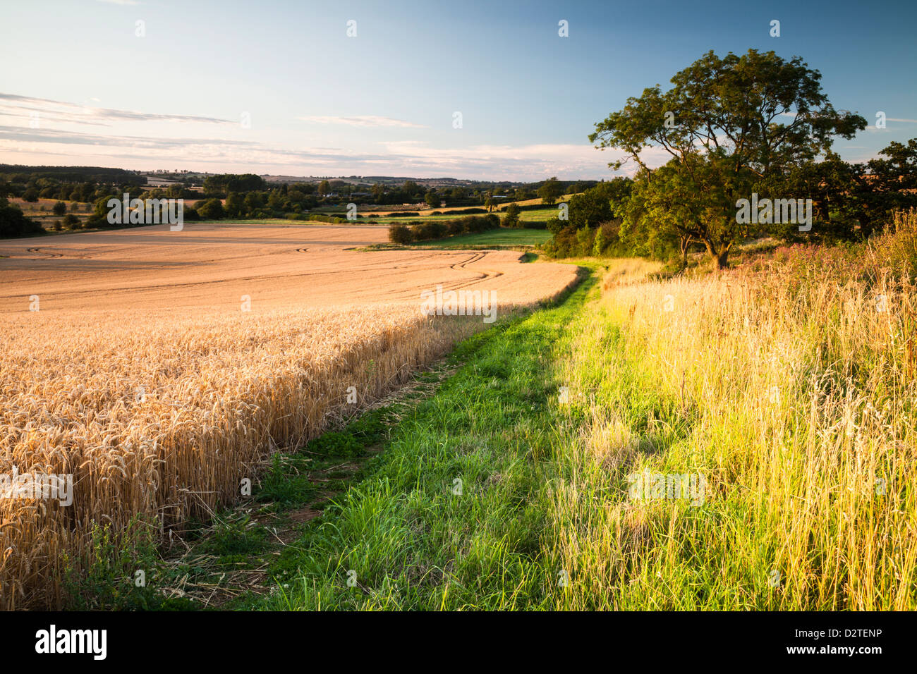 Wide field margin and hedgerow beside a field of ripened Wheat in the Brampton valley, Brixworth, Northamptonshire, - Stock Image