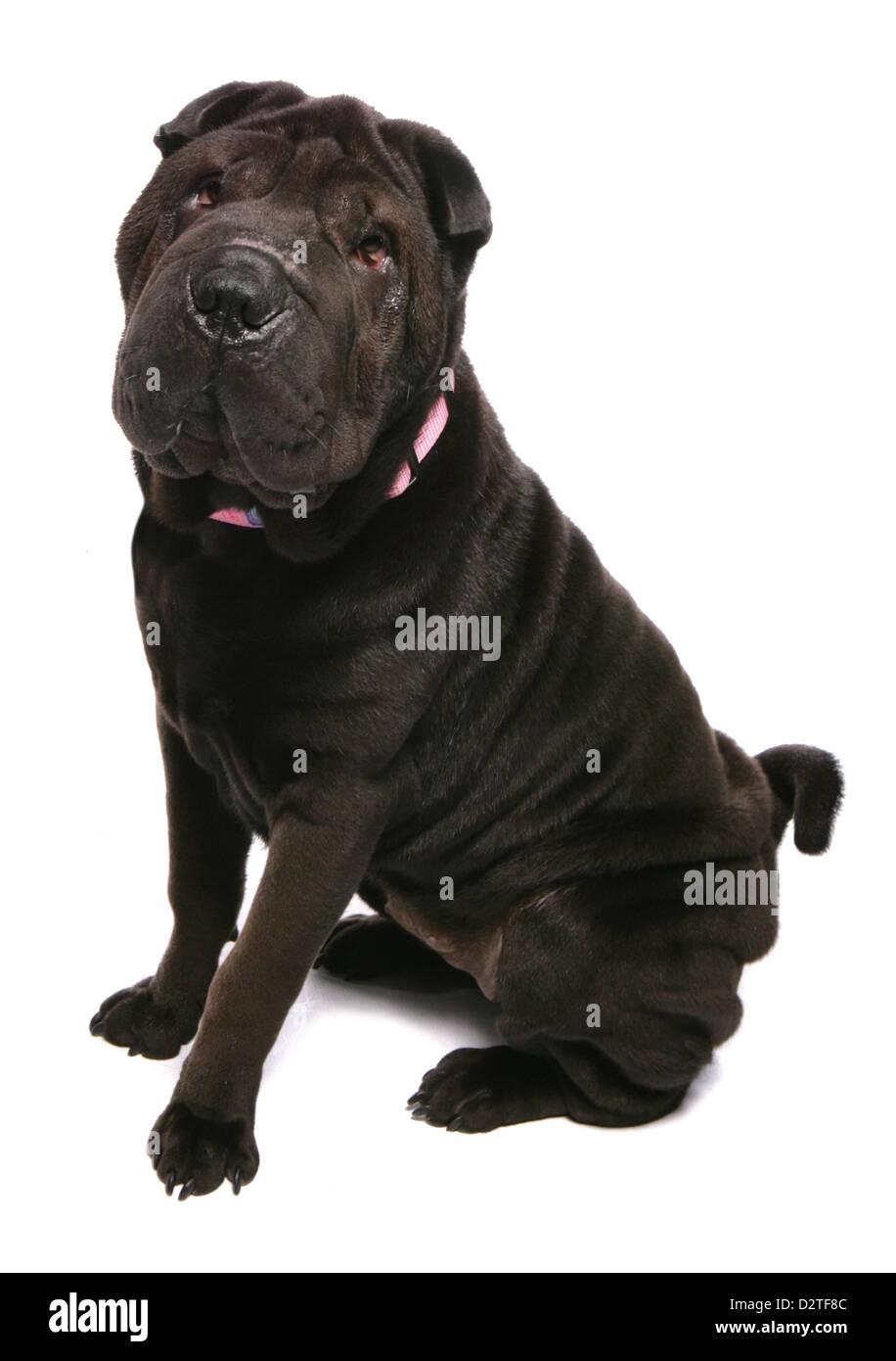shar pei dog studio cutout - Stock Image