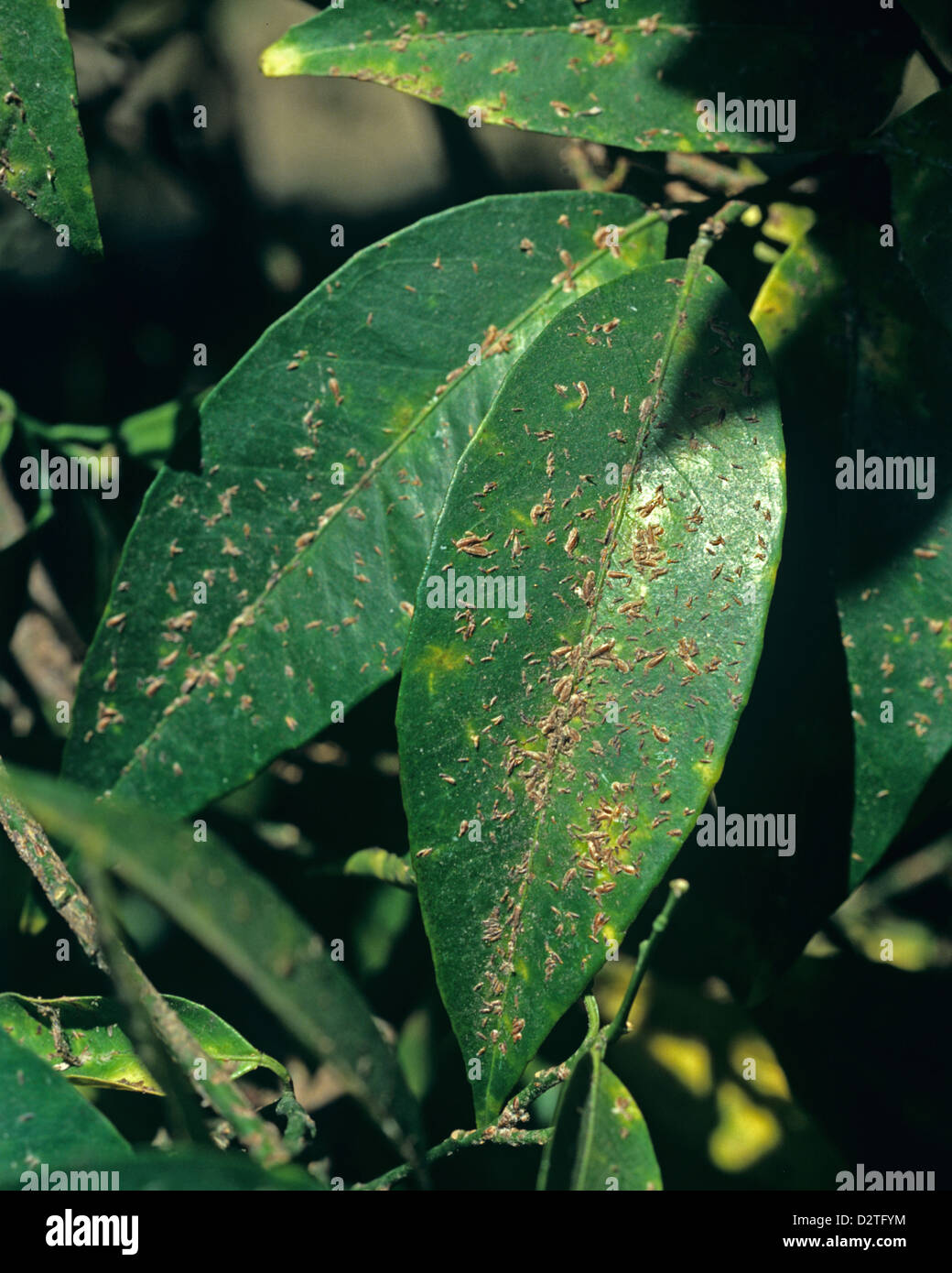Citrus mussel scale insects, Lepidosphes beckii, sucking pest insects on the leaves of an orange tree, Morocco - Stock Image