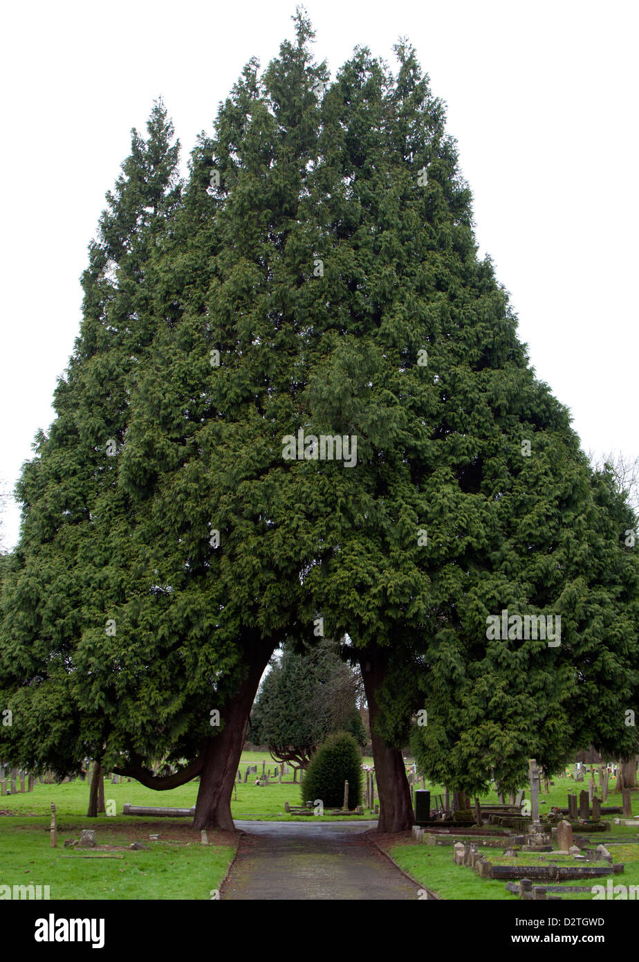 Two conifer trees forming archway - Stock Image