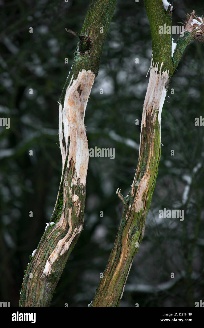 Damaged tree with bark removed by deer rubbing its antlers in forest - Stock Image