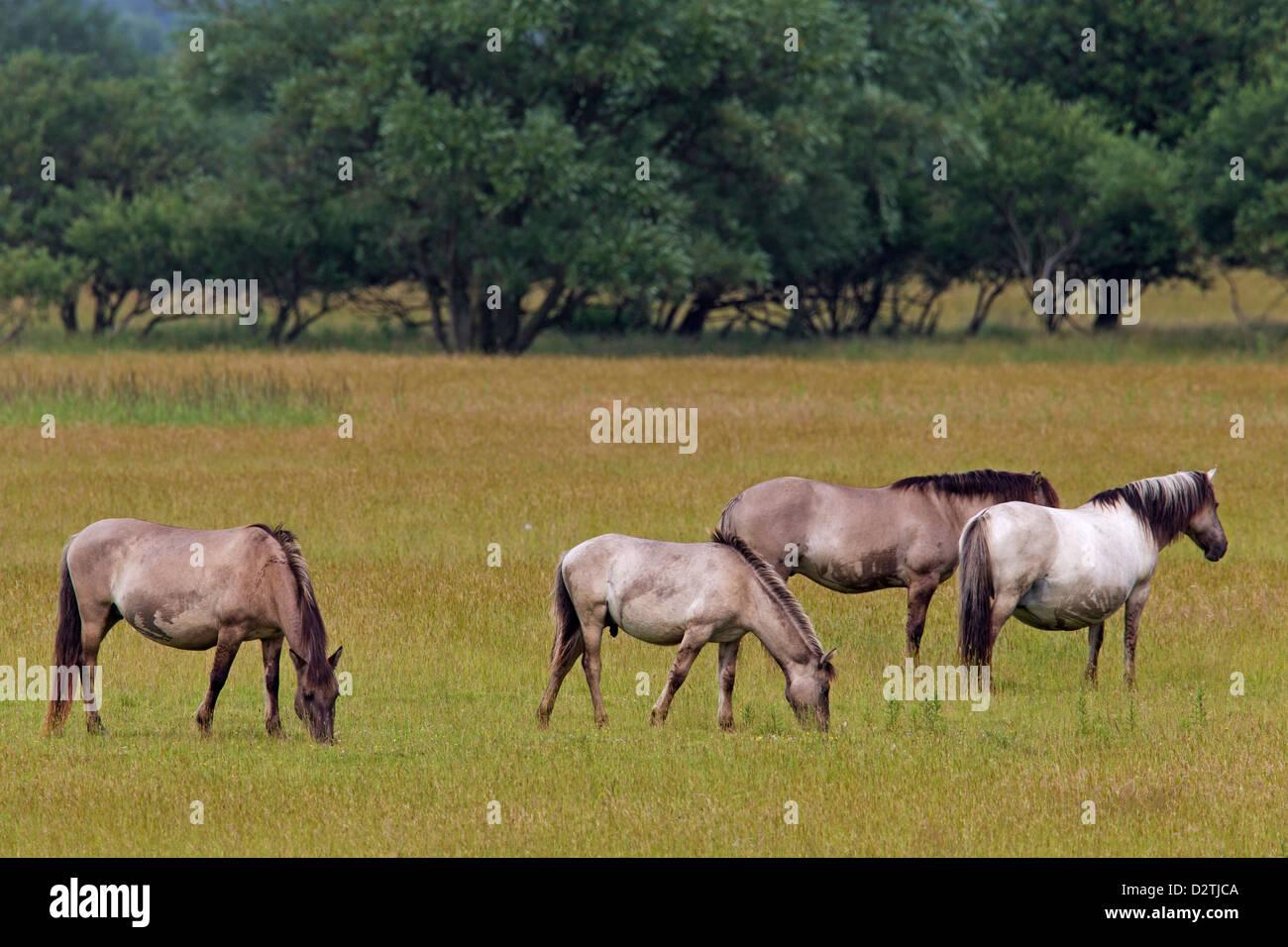 Herd of Konik horses, Polish primitive horse breed from Poland, grazing in field Stock Photo