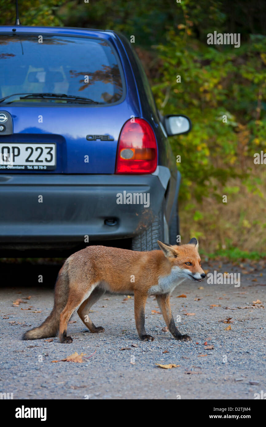 Tame Red fox (Vulpes vulpes) juvenile looking for food among cars at car park, Germany - Stock Image
