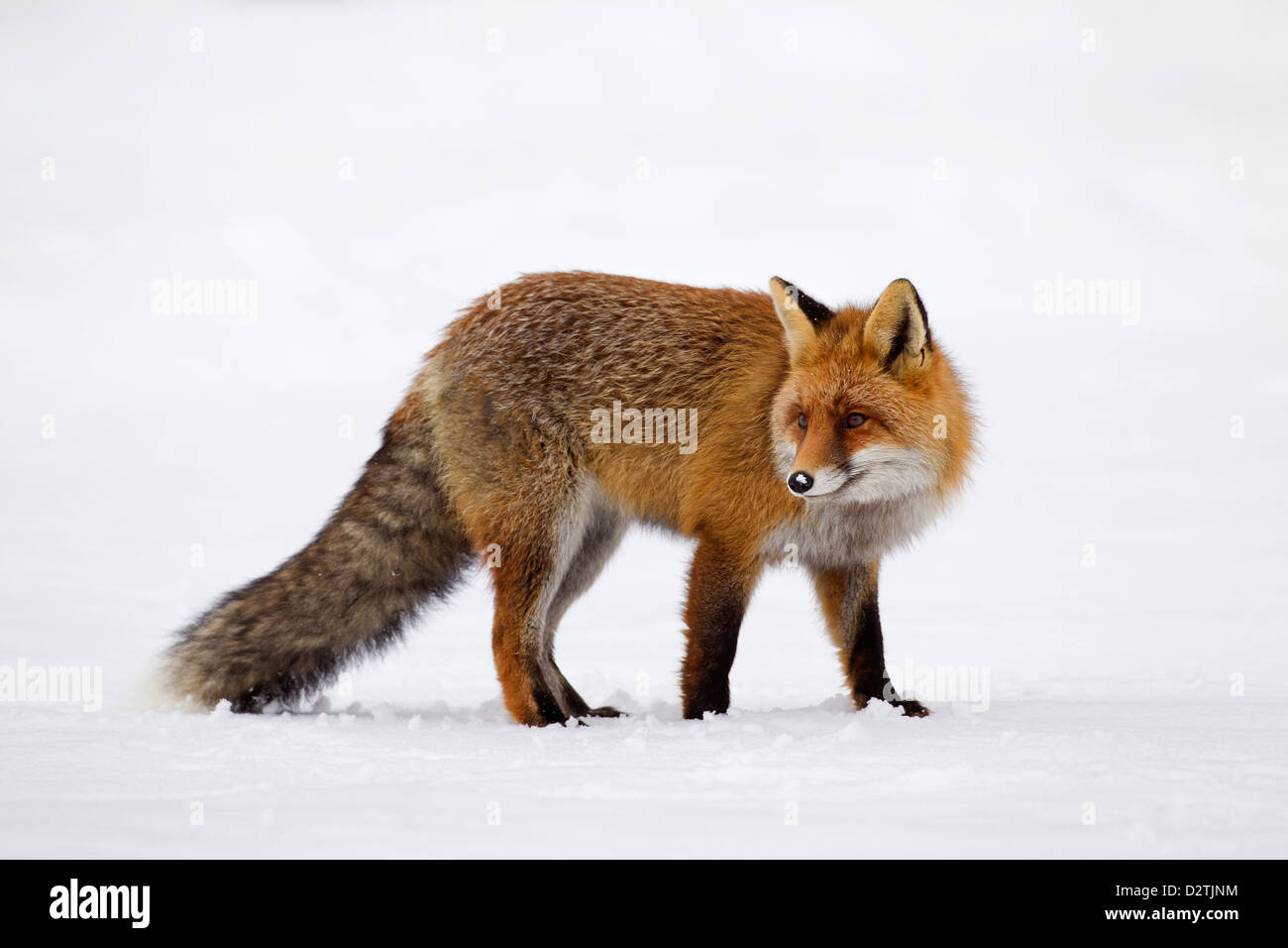 Red fox (Vulpes vulpes) protected by thick winter coat against the cold hunting in the snow in winter - Stock Image