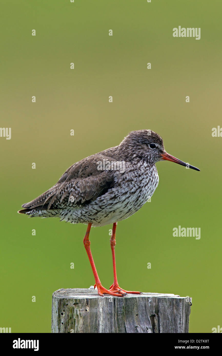 Common Redshank (Tringa totanus) perched on fence pole in grassland - Stock Image
