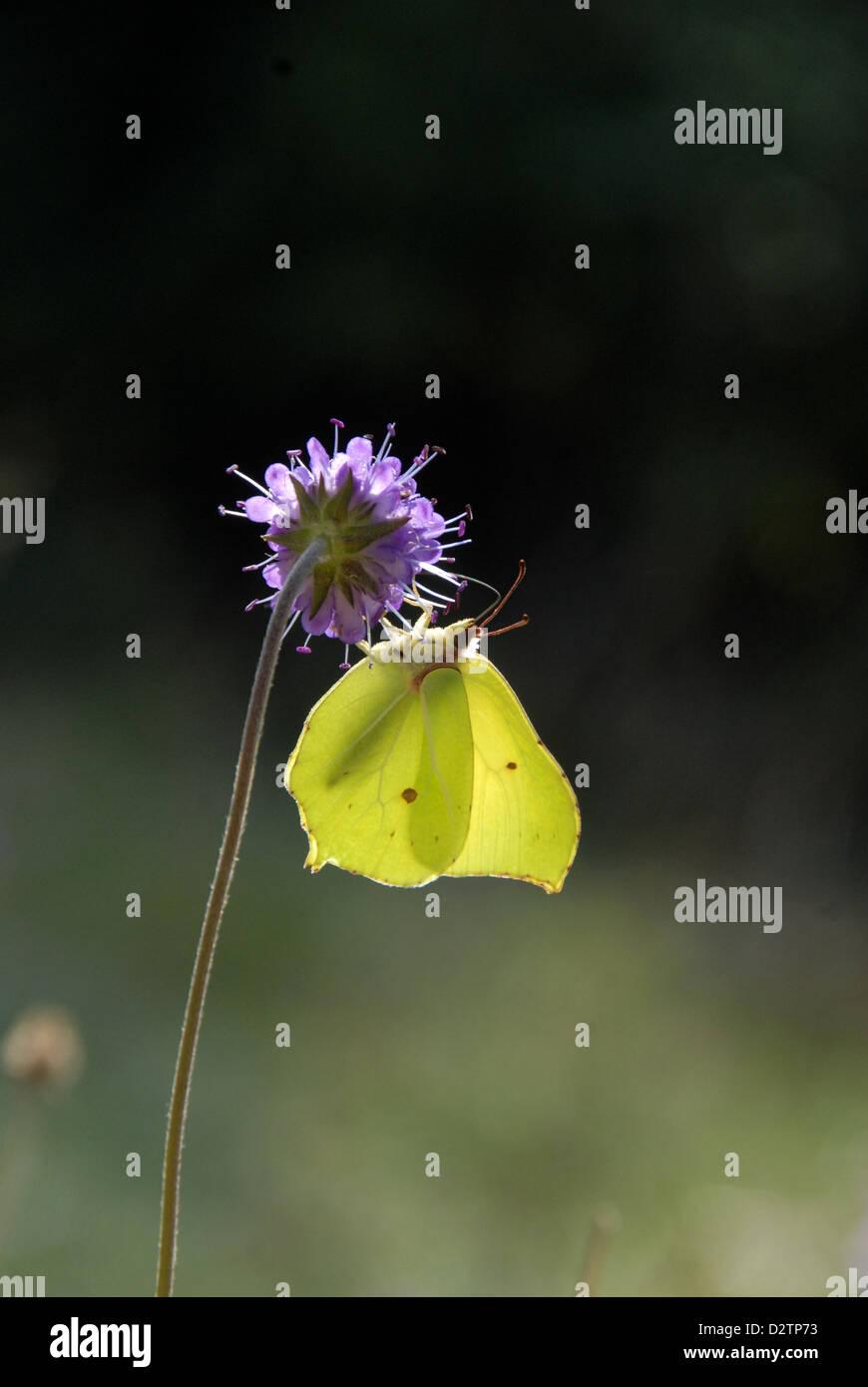 Brimstone Butterfly feeding on a Devil's Bit Scabious flowerhead - Stock Image