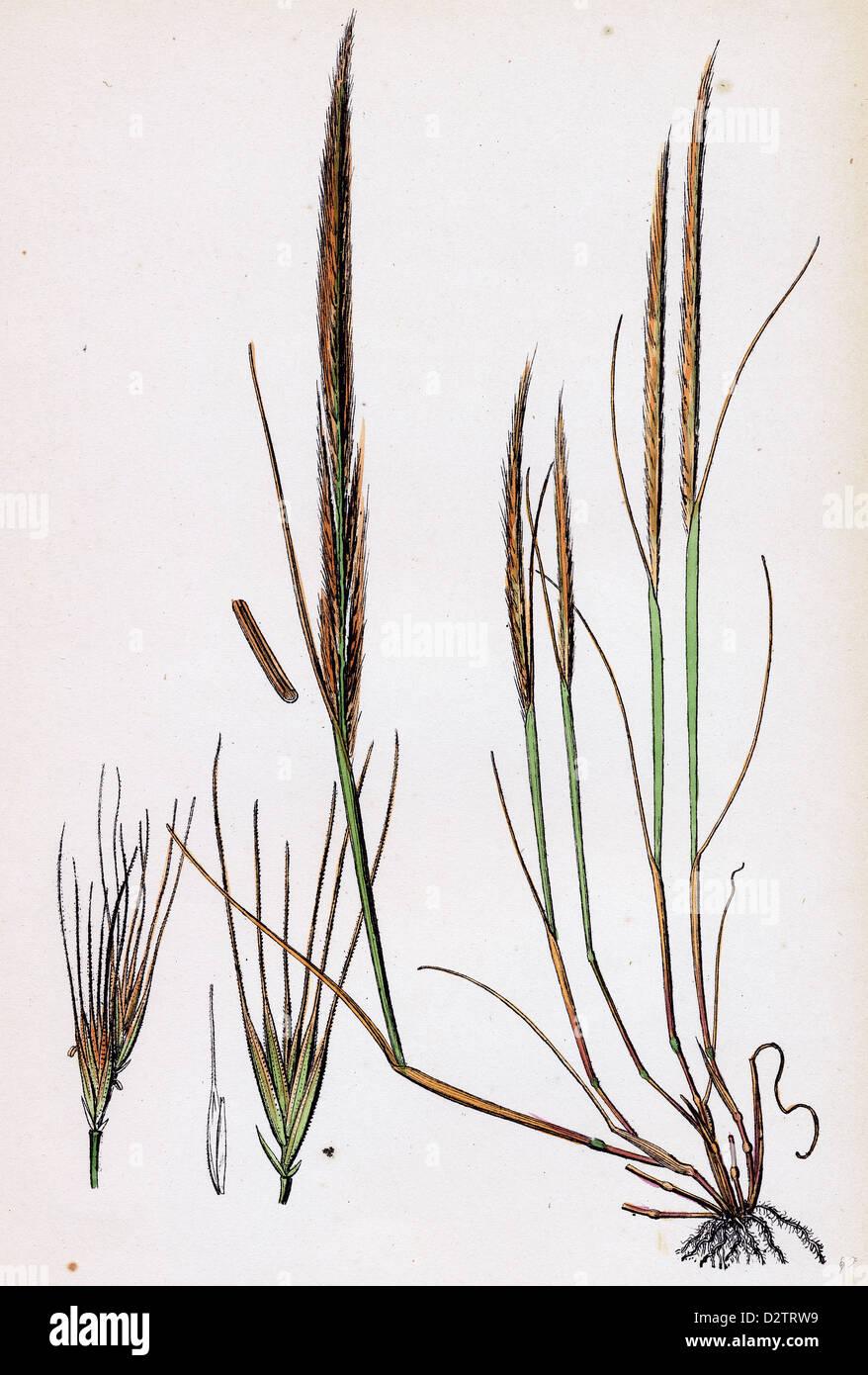 Festuca ambigua Ambiguous Fescue-grass - Stock Image