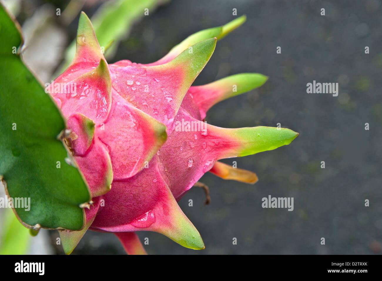 Maturing Dragon Fruit 'Hylocereus undatus' . - Stock Image