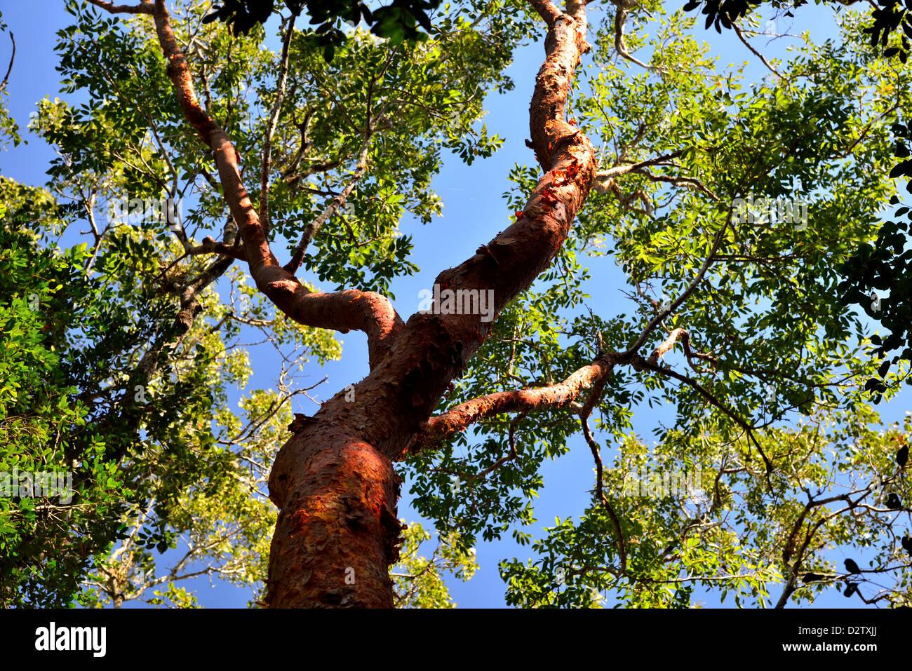 A Gumbo Limbo (Bursera simaruba) tree with red barks. The Everglades National Park, Florida, USA. - Stock Image