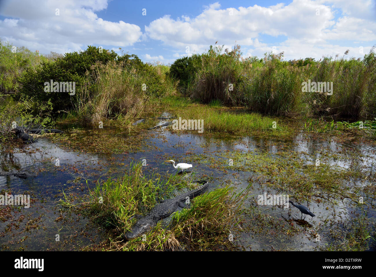 Snapshot of the eco-system, alligators and birds live side by side in the swamp. The Everglades National Park, Florida, - Stock Image