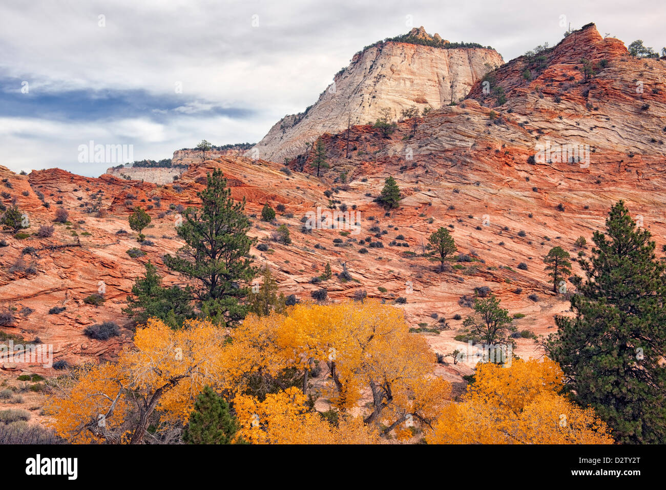 Autumn gold cottonwood trees among the slick rock terrain on Utah's east side of Zion National Park. - Stock Image