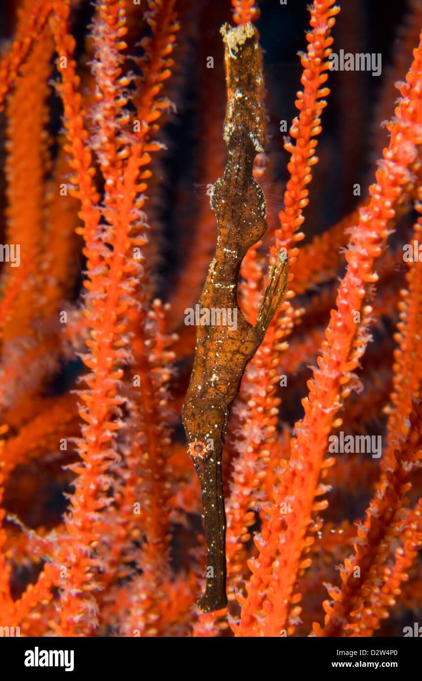 Ghost Pipefish (Solenostomus cyanopterus), Kimbe Bay, New Britain, Papua New Guinea - Stock Image