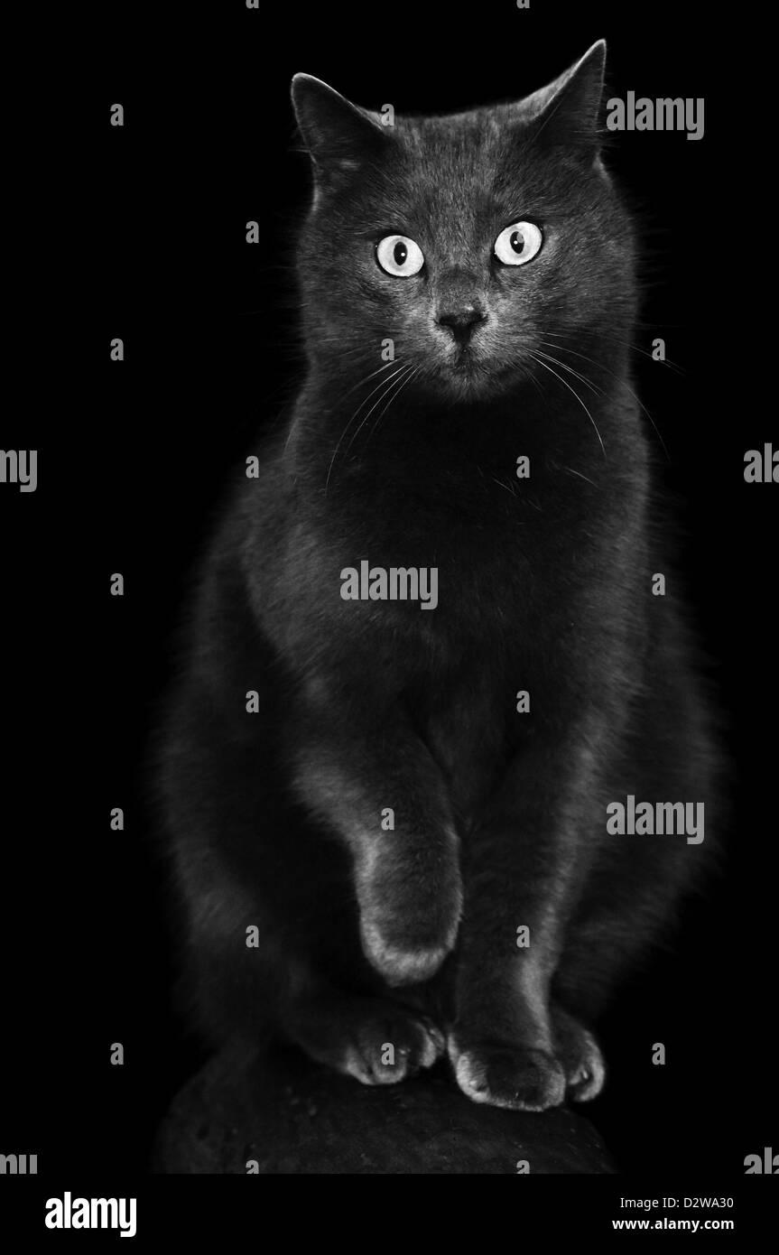 Black Grey cat kneading - Stock Image