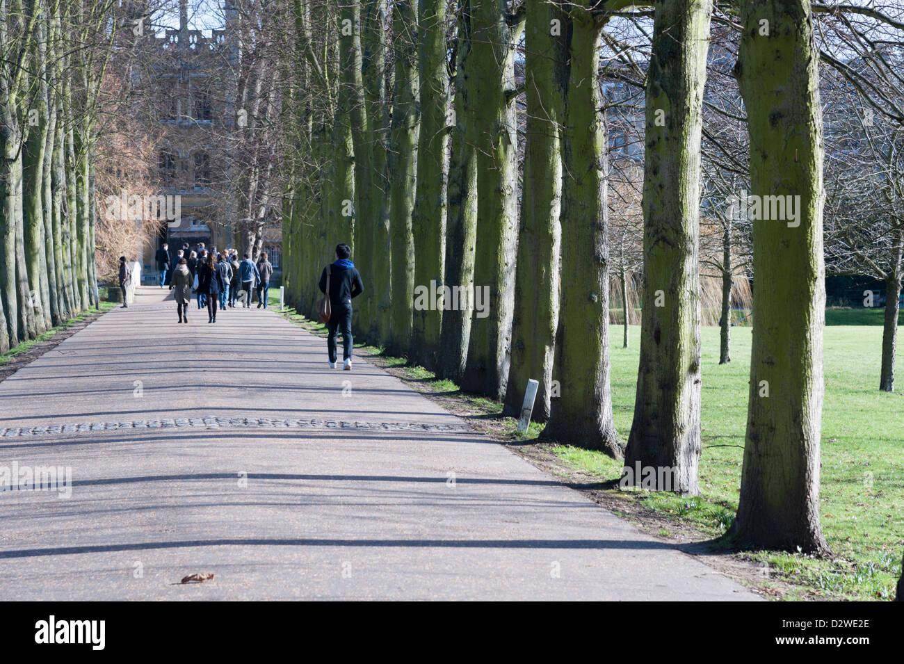 Avenue of trees at the rear of St John's College Cambridge University UK - Stock Image