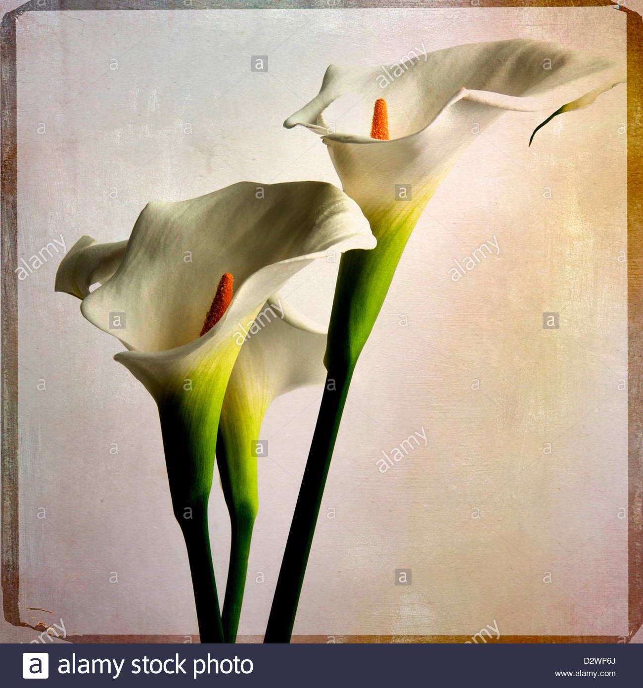 white lillies - Stock Image