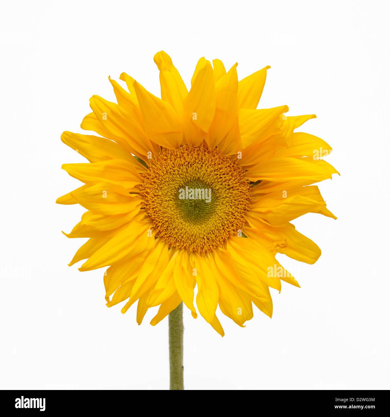 Sunflower, Helianthus annuus - Stock Image