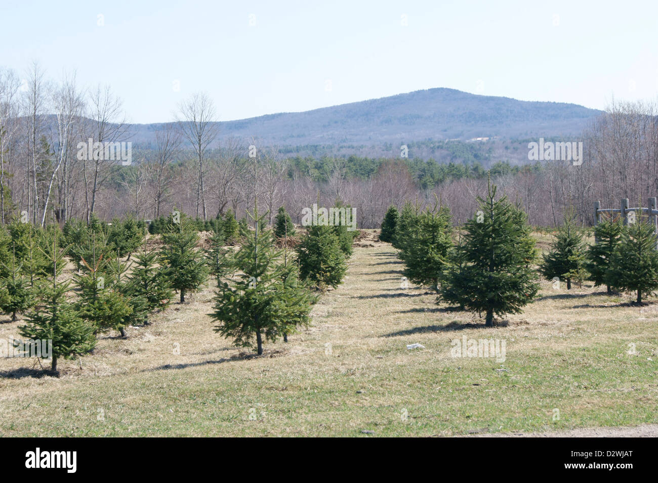 full length view of trees growing at a christmas tree farm in maine