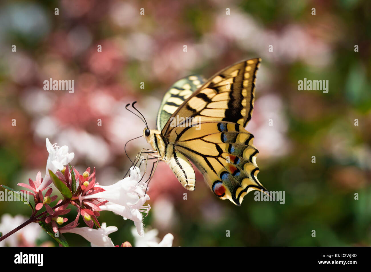 Yellow swallowtail butterfly (lepidoptera) sucking nectar from abelia flowers. - Stock Image