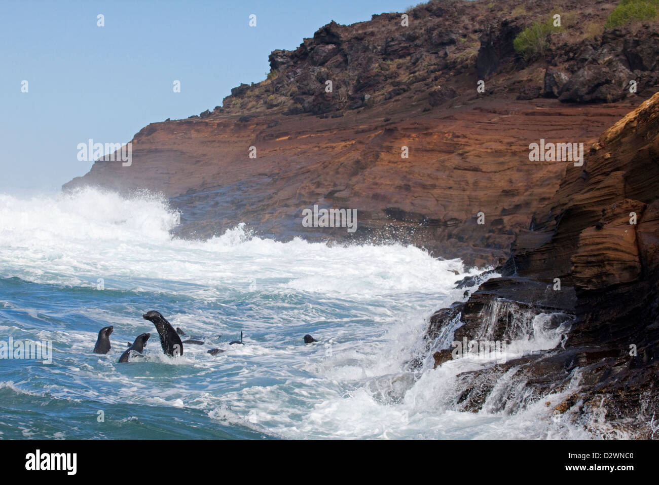 Galapagos Sea Lions (Zalophus wollebaeki) surfing along the coast of Isabela island - Stock Image