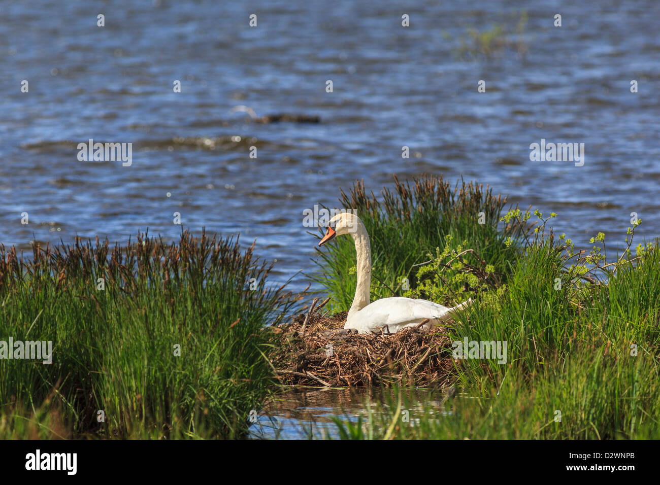 Mute Swan nests in the lake - Stock Image