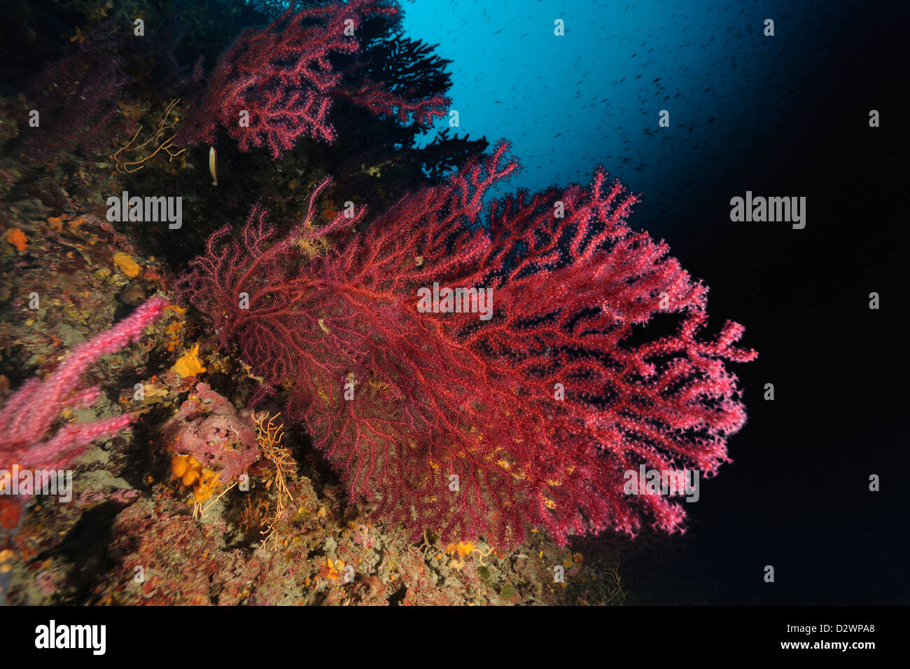 underwater view of red sea fans corals on coral reef, Paramuricea clavata, Mediterranean Sea, France Stock Photo