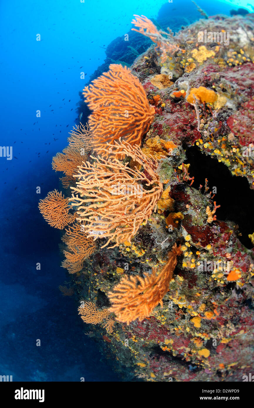 underwater view of yellow sea fans, Yellow Gorgonian, Eunicella cavolinii, Medditerranean Sea, France - Stock Image