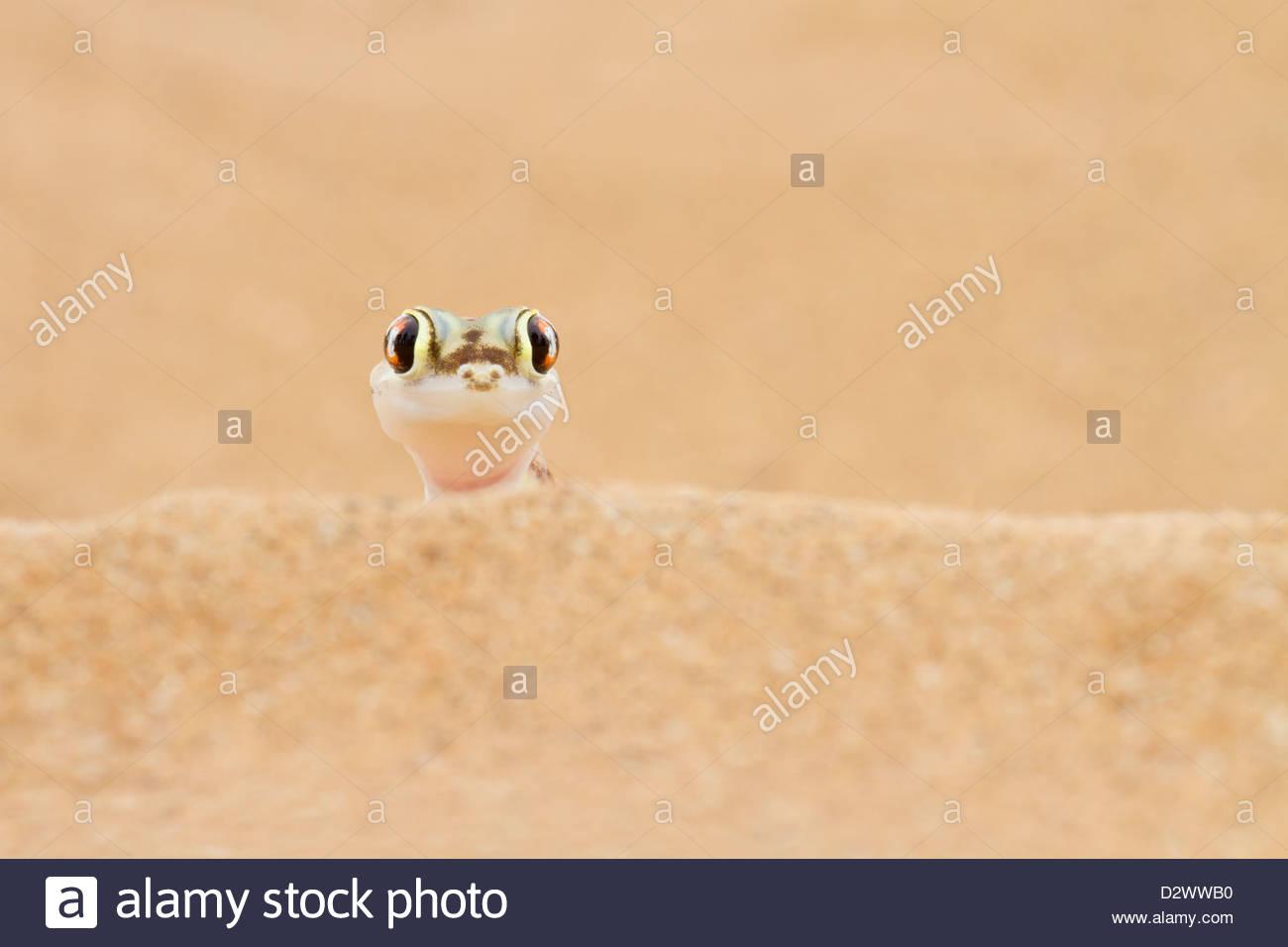 Palmato Gecko peering over a sand dune Stock Photo