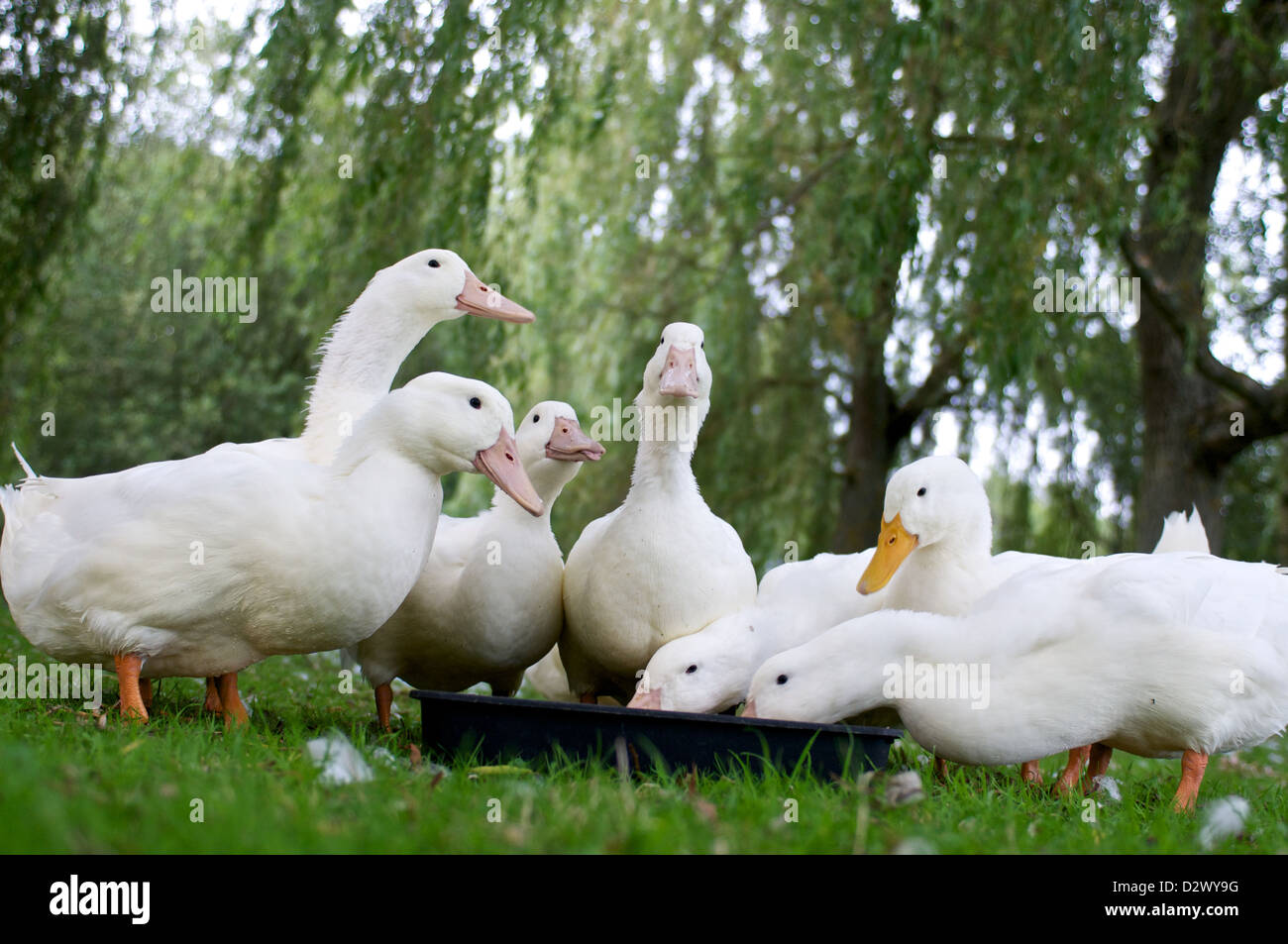 Seven ducks feeding one sticks its tongue out  - Stock Image